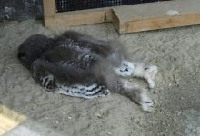 Photo of Baby Owls Sleep Face Down Because Their Heads Are Too Heavy