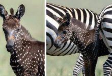 Photo of Photographed In Kenya A Spectacular Polka-dot Zebra