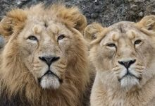 Photo of A Lioness In A Zoo Began To Grow Her Mane Like Male Specimens – At The Age Of 18