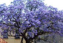 Photo of The Paulownia Tree Grows In Record Time And Can Produce Up To 4 Times More Oxygen Than Others.