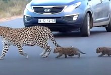 Photo of Mother Leopard Helps Her Cubs Cross The Road, The Video Is Fascinating