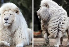 Photo of A Talented Photographer Managed To Immortalize A White Lion In All Its Glory