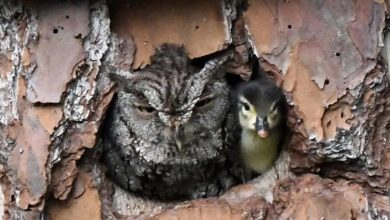Photo of This Owl Mistook A Duck Egg For Its Own And Ended Up Mother Of A Duckling