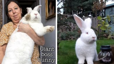 Photo of This Woman Has A Gigantic Rabbit. He Weighs About 10 Kg And Has Her Own Bedroom
