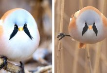 Photo of Bread Whiskers, The Adorable Chubby Little Bird That Appears To Have Two Large Whiskers Near Its Eyes