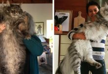 Photo of 20 Photos Of Stylish And Giant Maine Coon Cats That We All Feel A Little Smaller In Front Of