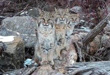 Photo of Man Manages To Immortalize Three Lynxes In Memorable Photos. They Seem To Have Posed