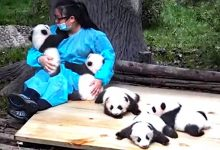 """Photo of This Woman Is A """"Panda-sitter"""" She Is Paid 32,000 Dollars To Take Care Of Her 365 Days A Year."""