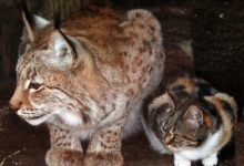 Photo of A Cat Sneaks Into A Zoo And Becomes A Eurasian Lynx's Best Friend