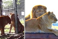 Photo of Tanya And Tarzan, The Circus Lions Freed After 8 Years In Captivity, They Had Never Run On A Meadow Before