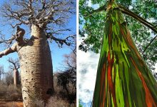 Photo of 17 Of The Most Curious And Spectacular Trees On Earth, True Wonders Of Nature