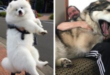 Photo of 16 Bulky Dogs Who Don't Accept Growing Up And Keep Behaving Like Puppies