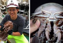 """Photo of A New Marine Species Discovered In Indonesia. A Giant """"Cockroach"""" Emerges From The Abyss"""