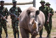 Photo of The Last Two Northern White Rhinos In The World Have A Real Bodyguard Team