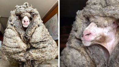 Photo of They Save A Sheep Trapped In 30 Kg Of Wool, He Can Finally See And Walk