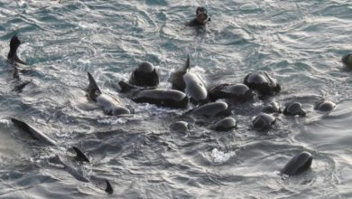 Photo of The Last Moments Of A Family Of Dolphins. The Mother Hugs Around Them Before Being Captured.