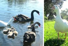 """Photo of Thomas, The """"Gay"""" And Polyamorous Goose Who Gave The World A Splendid Example Of Tolerance."""