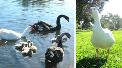 "Photo of Thomas, The ""Gay"" And Polyamorous Goose Who Gave The World A Splendid Example Of Tolerance."