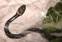 Photo of Woman Finds Snake In Package Of Supermarket Salad.