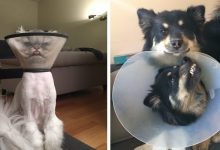 Photo of 15 Photos Of Animals That Don't Seem At All Happy To Wear A Ruff.