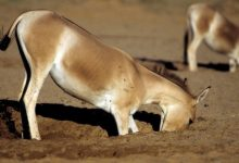 Photo of Researchers Find Donkeys And Horses Dig Holes In The Desert That Are Vital For Other Species.