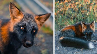 Photo of Photographer Managed To Capture All The Beauty Of A Particular Type Of Fox With Black And Red Fur.