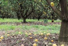 Photo of Farmer Can't Find Anyone To Harvest His Citrus: He Loses $ 50 Million Crop.