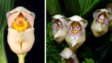 Photo of Anguloa Uniflora, The Particular Orchid That Looks Like A Baby Snuggled In A Coffin.
