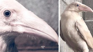 Photo of Rare White Crow With Blue Eyes Has Been Spotted And Rescued: It Is Fighting For Its Survival.