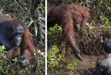 Photo of Photographer Captures The Moment An Orangutan Reaches Out To A Man In His Willingness To Help