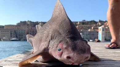 Photo of Rare Pigfish Discovered In Italy: It Growls Like A Pig.