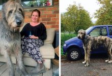 Photo of Irish wolfhound masters took photos to show everyone how big they are.